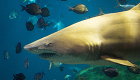 Picture of shark