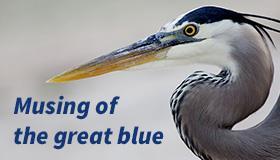 Clark_Musing-Great-Blue_TN2_SFW